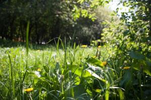 В настоящее время траву, достигшую 10–15 сантиметров, срезают до пяти — восьми сантиметров