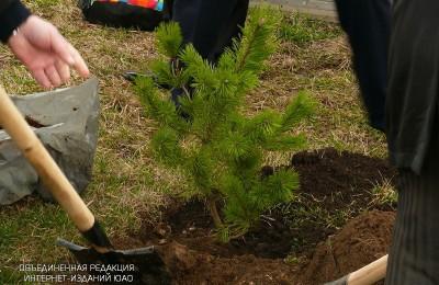 Новые деревья высадят на Нагатинской улице